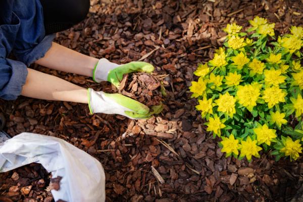 Hender holder furu til planting