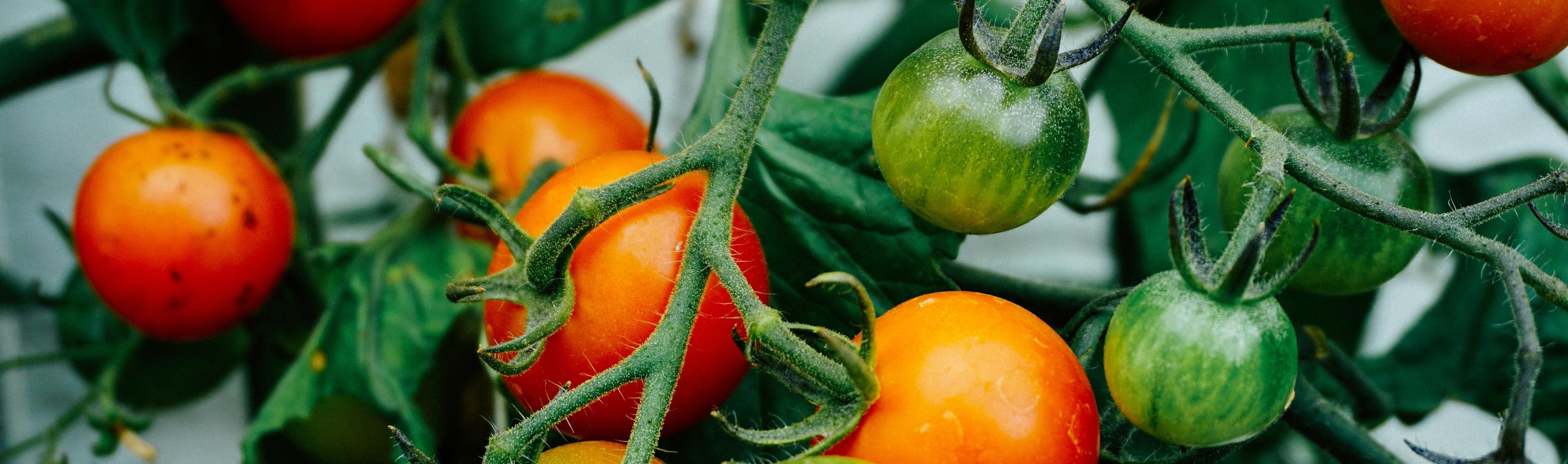 Hjemmedyrket tomater