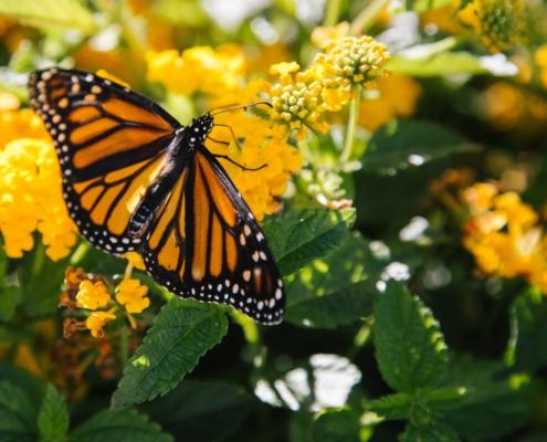 Sommerfugl på gule blomster